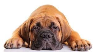 Lazy-Dog-Breeds-2